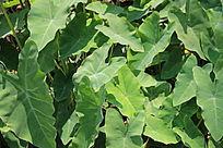 水芋头叶子