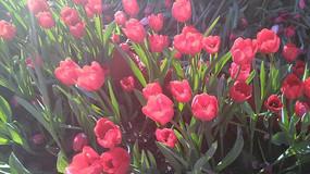 红色郁金香摄影图图片
