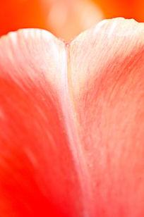 郁金香花瓣微距
