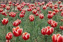 红色郁金香花田