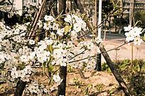 唯美大自然白色樱花