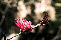 唯美大自然红色花朵高清摄影