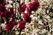 唯美大自然红色牡丹