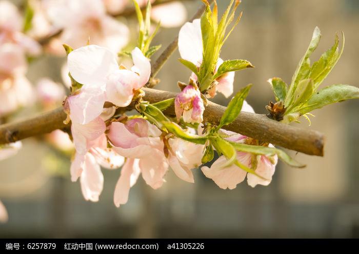素材描述:红动网提供花卉花草精美高清图片下载,您当前访问图片主题是唯美清新粉色樱花植物高清摄影,编号是6257879, 文件格式是JPG,拍摄设备是NEX-3N,您下载的是一个压缩包文件,请解压后再使用看图软件打开,色彩模式是RGB,图片像素是4912*3264像素,素材大小 是4.09 MB。