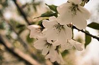 唯美清新樱花大自然花语高清摄影