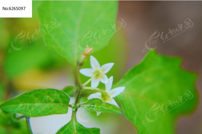 原创摄影图 动物植物 花卉花草 五角的白色小花朵  请您分享: 红动网