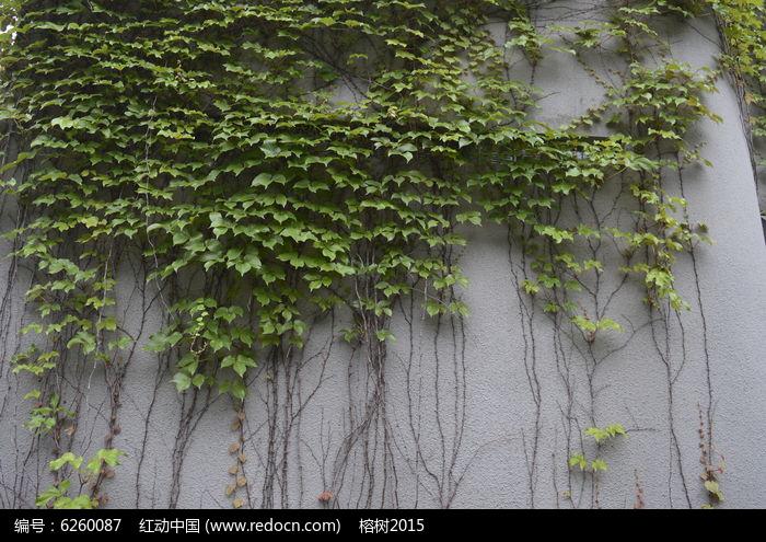 原创摄影图 动物植物 其它生物 倚墙而生的爬山虎  请您分享: 素材