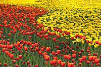 大片黄色和红色郁金香