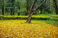 黄色的落叶