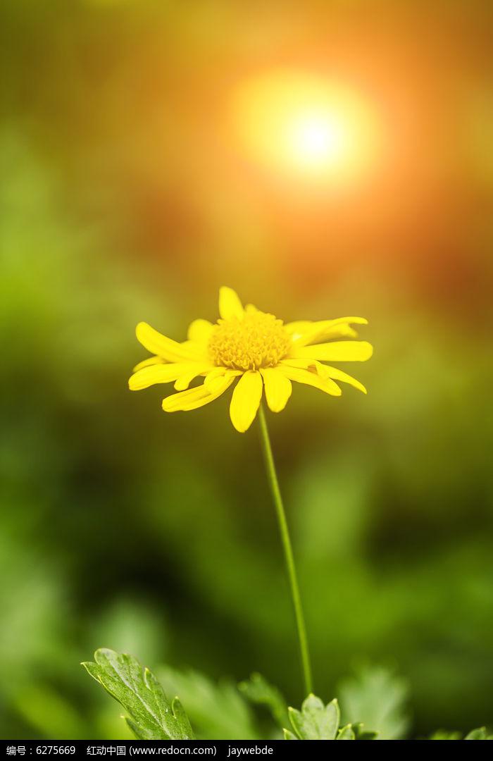 原创摄影图 动物植物 花卉花草 阳光下的菊花  请您分享: 红动网提供