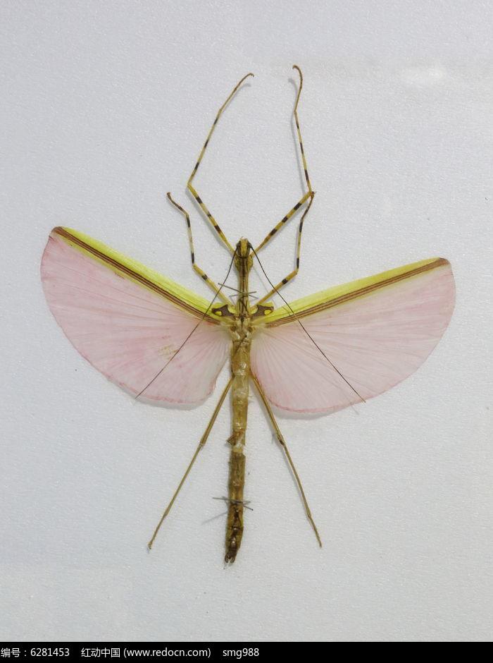 东南亚红裙竹节虫标本