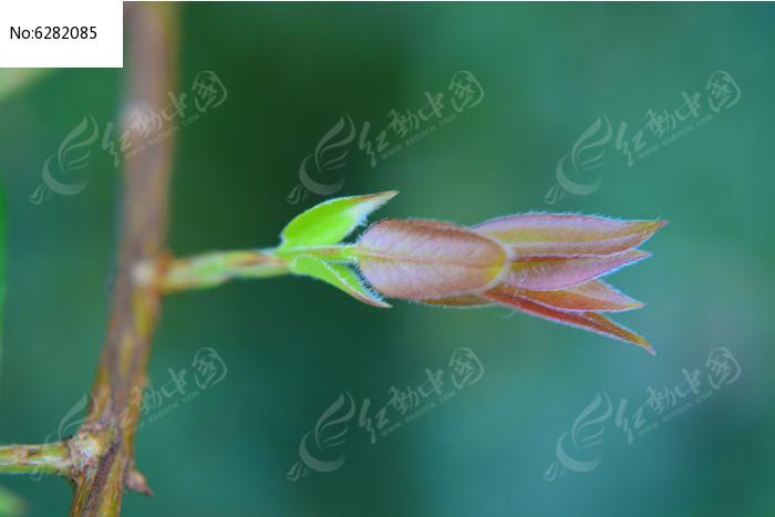 原创摄影图 动物植物 树木枝叶 红色叶子的萌芽  请您分享: 红动网