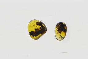 藓类植物琥珀