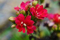 美丽的红色鲜花