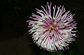 鲜艳的礼花菊