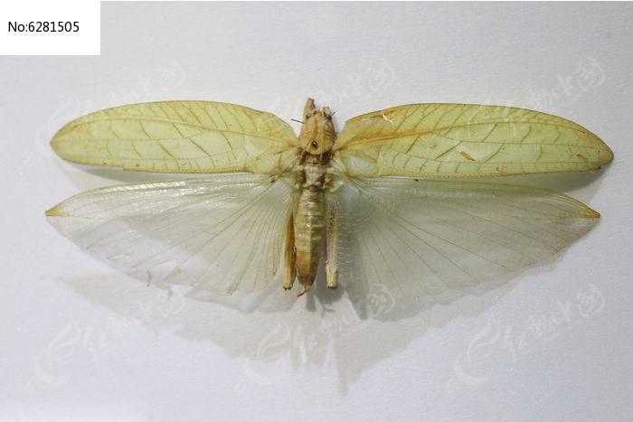原创摄影图 动物植物 昆虫世界 亚洲软叶螽标本