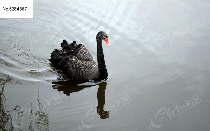 动物  水面 悠闲 游水的大天鹅 尊贵的黑天鹅 游荡 觅食 倒影