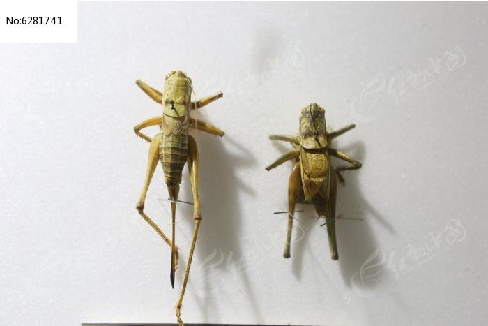 原创摄影图 动物植物 昆虫世界 优雅蝈蟋标本