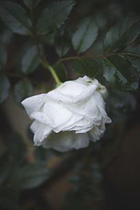 雨天下垂的白色月季
