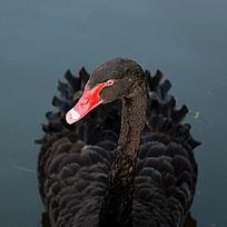 正面的黑天鹅