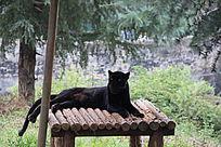 昆明动物园里的黑豹