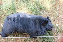 昆明动物园里的黑熊