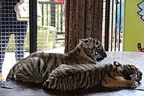 昆明动物园里的两只华南虎幼仔