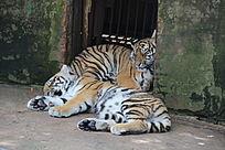 昆明动物园里的两只小老虎