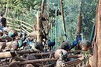 昆明动物园里的一群孔雀