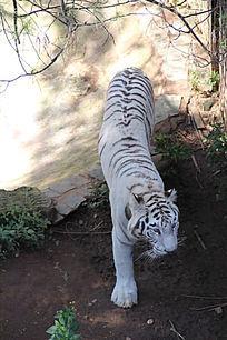 昆明动物园里的一头白虎