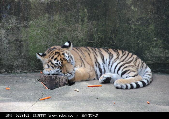 昆明动物园里的一只小老虎图片