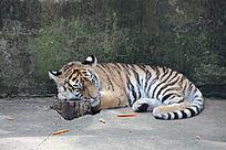 昆明动物园里的一只小老虎