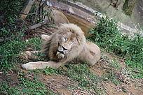 一头衰老的雄狮