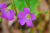 粉红色的小野花