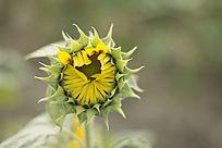 含苞待放向日葵