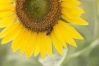 可爱向日葵