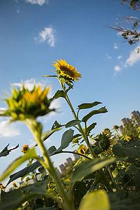 蓝天下向日葵