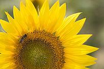 蜜蜂在向日葵上