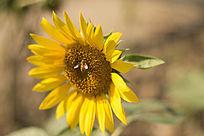 蜜蜂在向日葵上采蜜