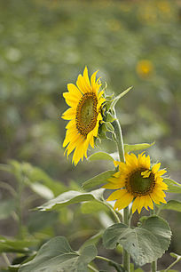 想望的二朵向日葵