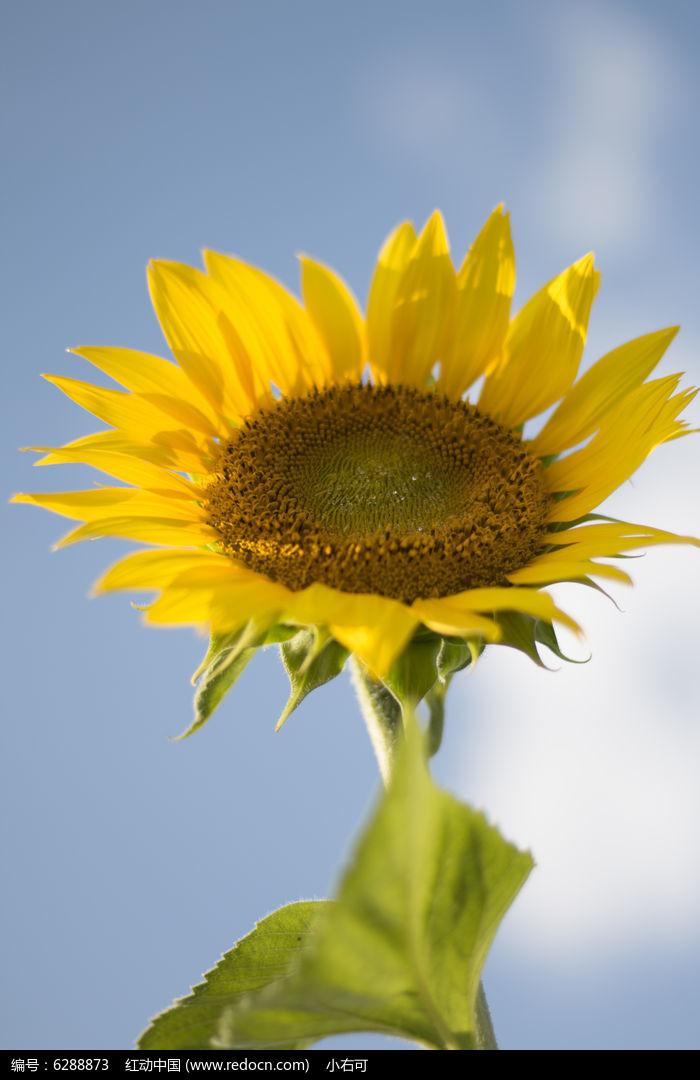 原创摄影图 动物植物 花卉花草 向往阳光的向日葵