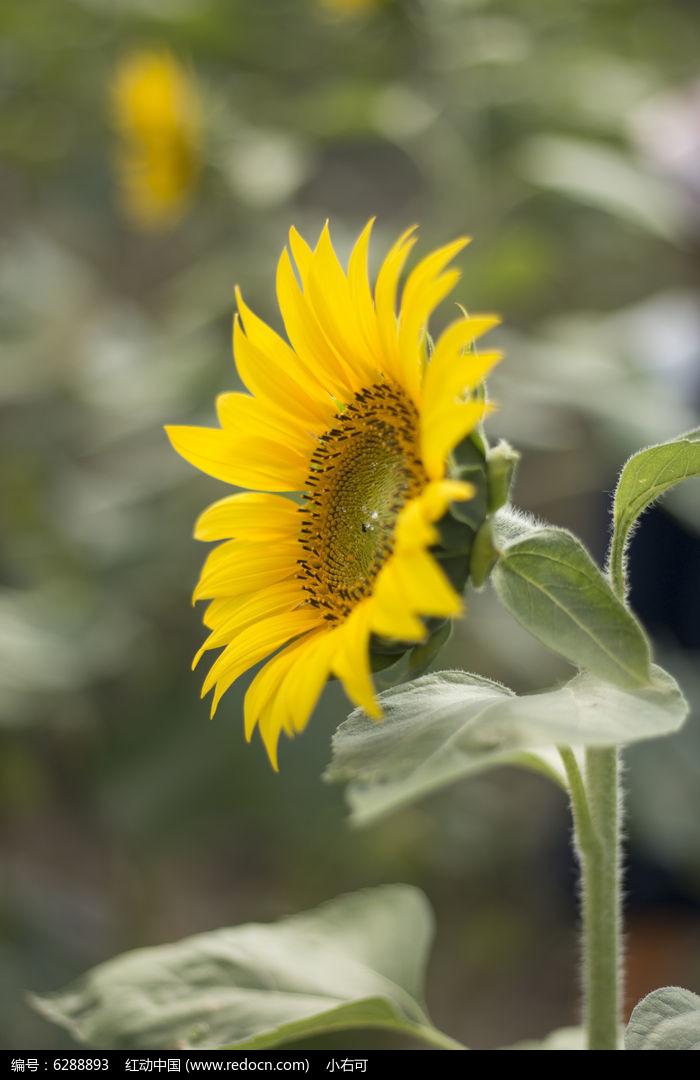 原创摄影图 动物植物 花卉花草 笑脸向日葵  请您分享: 红动网提供