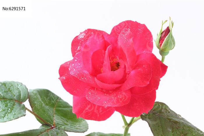 一朵玫瑰花图片,高清大图