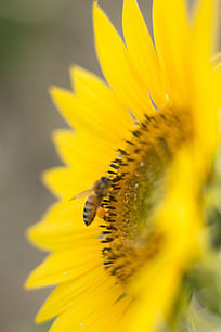 正在向日葵忙着的蜜蜂