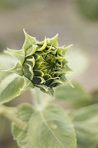 准备开放的向日葵