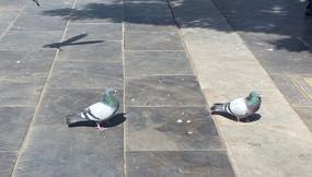 悠闲的鸽子