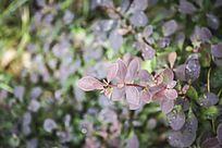 淡紫色观赏植物