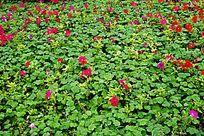 红色花卉植物