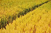即将成熟的小麦麦田