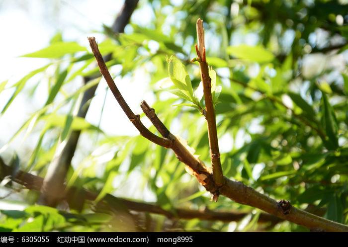 原创摄影图 动物植物 树木枝叶 柳树新芽  请您分享: 红动网提供树木